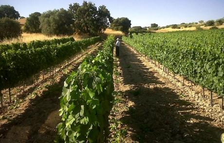 Revisando uvas